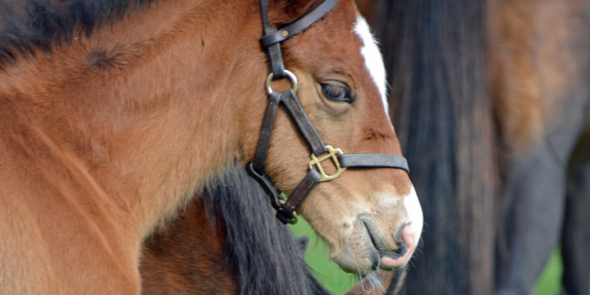 Rossdales Foal Care Course 2020